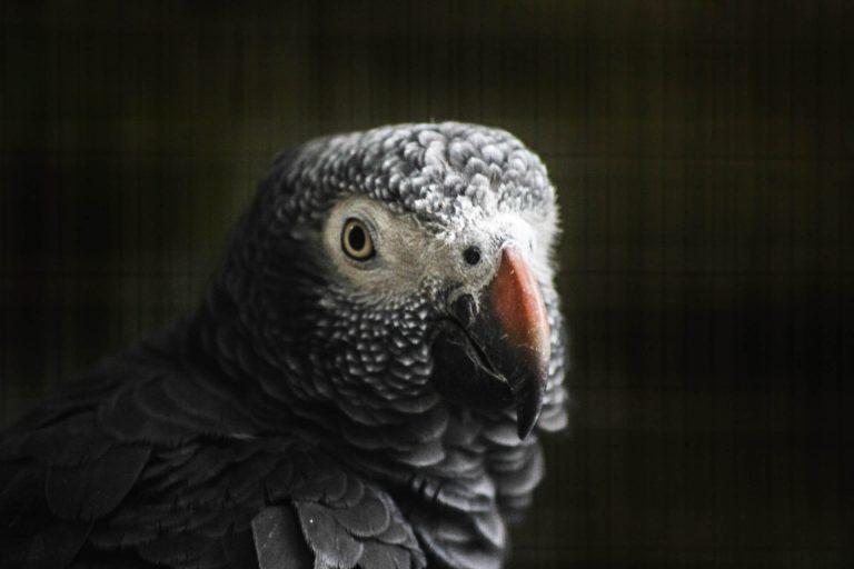 طوطی خاکستری آفریقایی یا کاسکو