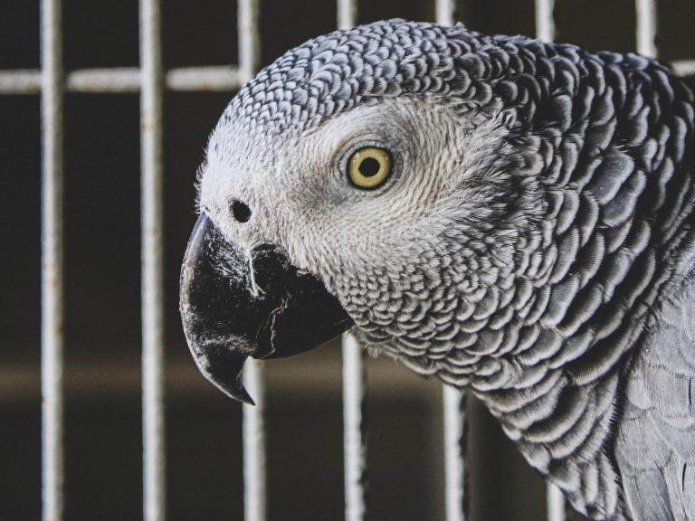 طوطی کاسکو یا خاکستری آفریقایی